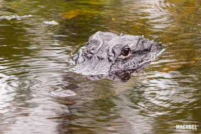 Buscándo aligators en el Parque Nacional de los Everglades, Miami, Florida, Estados Unidos