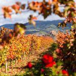 Viñedos en otoño La Rioja, España by machbel