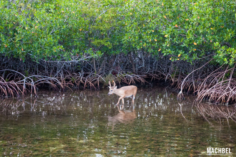Ciervo de los Cayos (Key Deer) en Florida by machbel