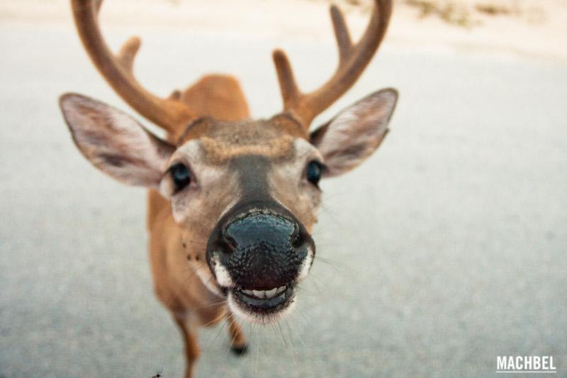 Ciervo de los Cayos (Key Deer) en Florida by machbel