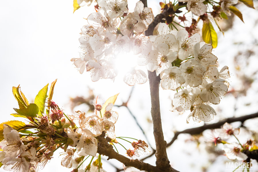 Árboles en flor