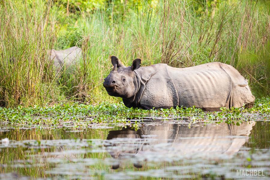 Rinocerontes en libertad en Chitwan