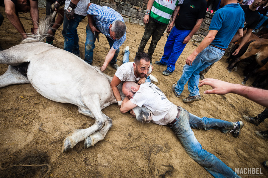 Aloitadores tranquilizando un caballo abatido sobre el suelo