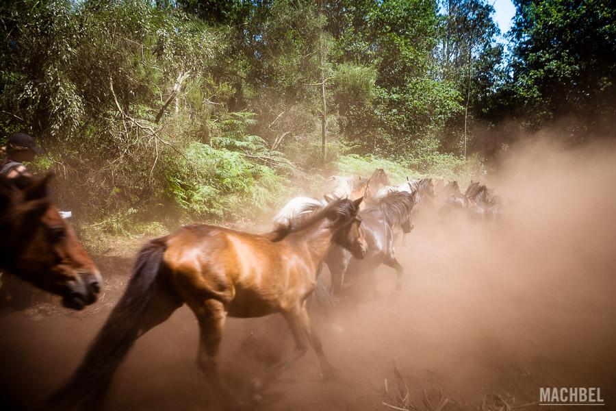 Caballos salvajes por los montes de Sabucedo