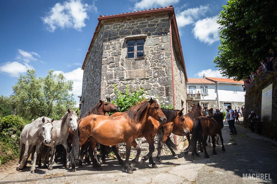 Entrada de los caballos en Sabucedo
