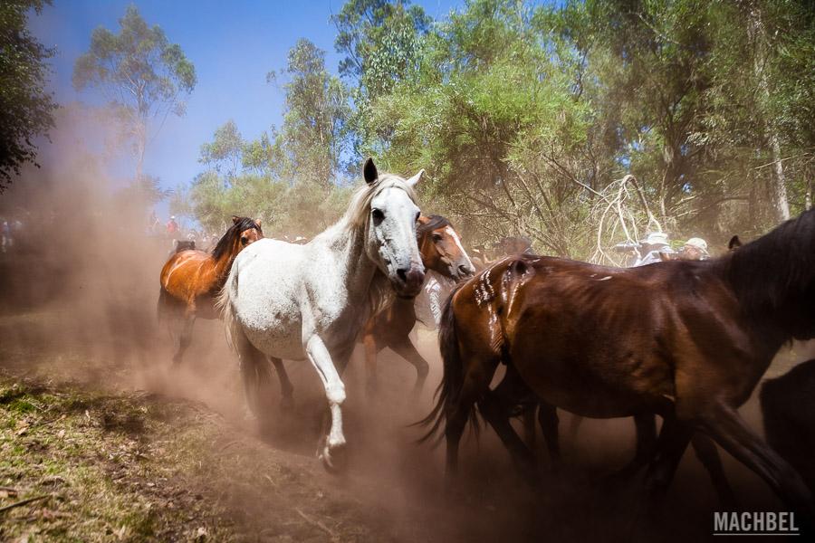 Recogiendo los caballos salvajes en el monte