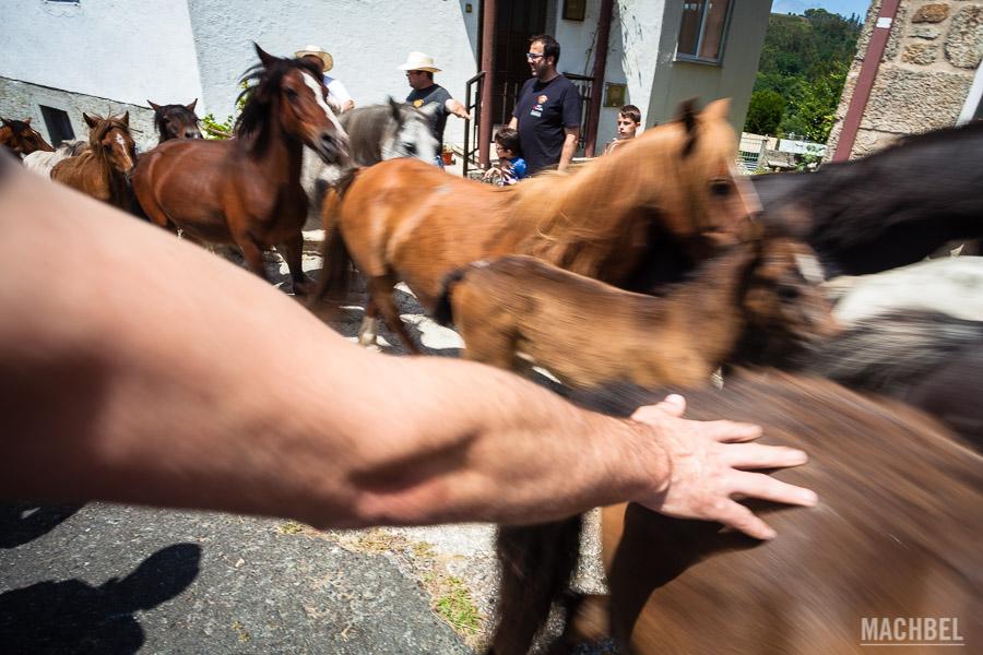 Recorrido de los caballos salvajes por las calles de Sabucedo