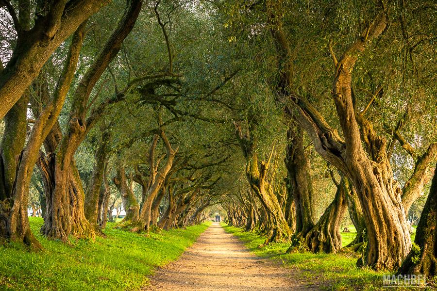 Olivos ornamentales en algún rincón de Galicia