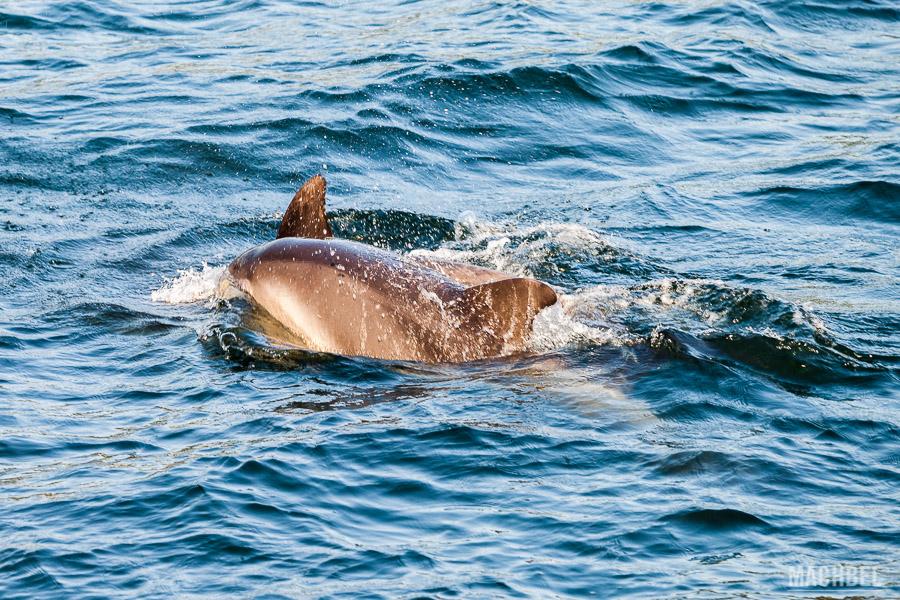 Delfines jugando en la travesía a la isla de Ons
