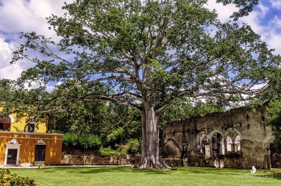 La ceiba, el árbol sagrado en la Hacienda Uayamón