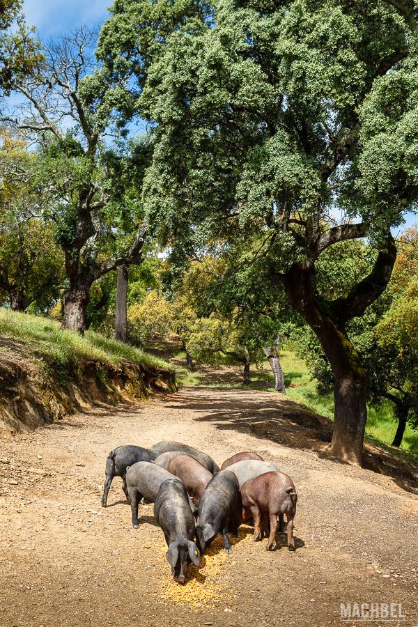 Cerdos ibéricos en Embutidos Eíriz