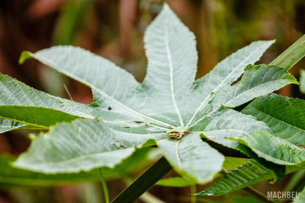 Ranita meridionalis en una planta