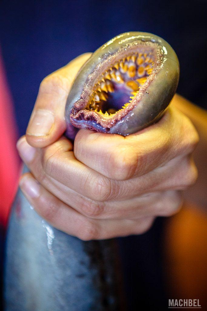 Boca de la lamprea