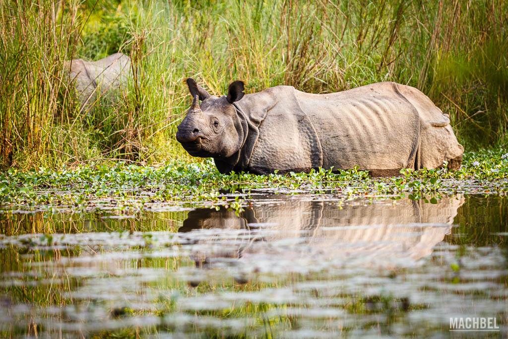 Rinocerontes en Chitwan