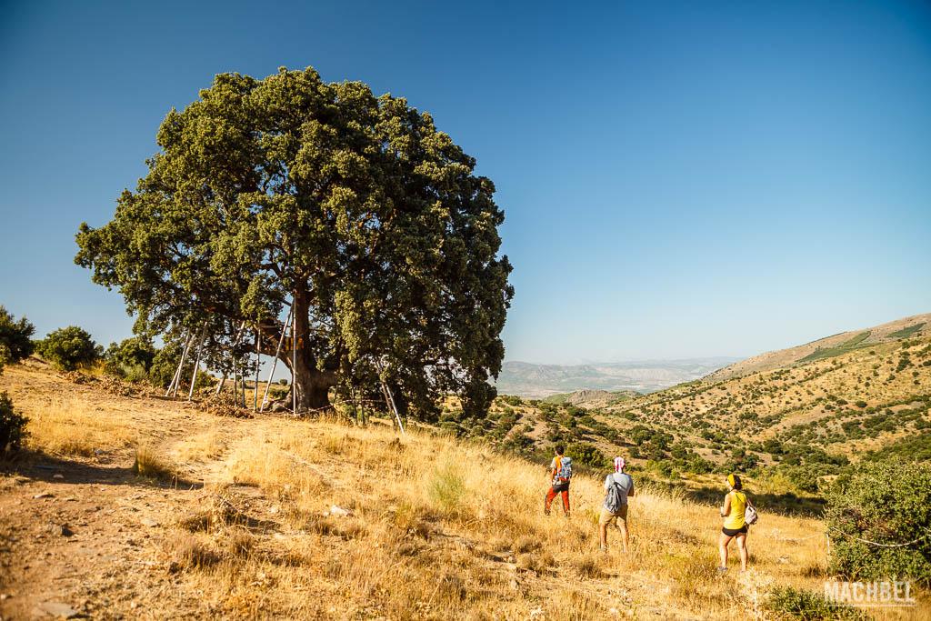 Encina la Peana, la más grande de Andalucía