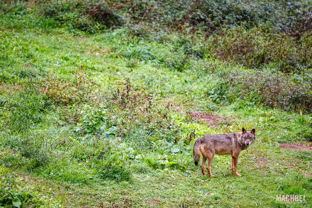 Cercado del lobo ibérico del Aula del Lobo