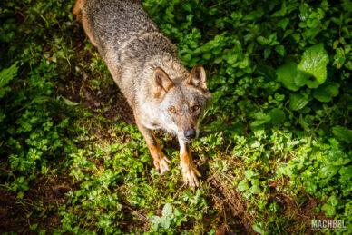 Lobo ibérico en Asturias