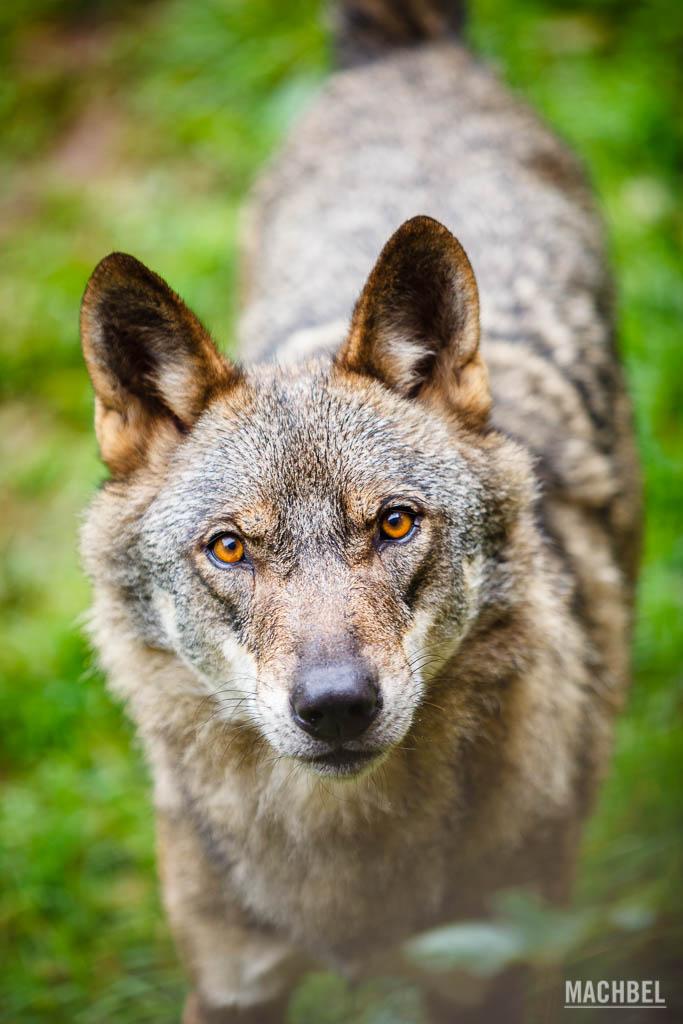 Lobo ibérico en el cercado del Aula del Lobo de Belmonte