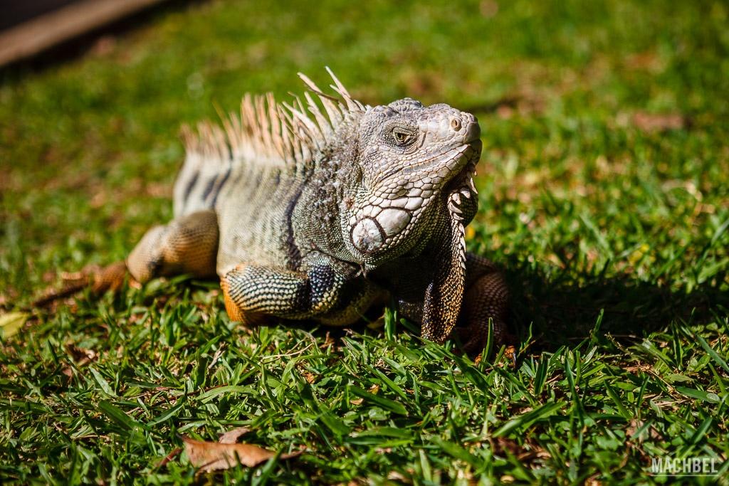 Iguana en el Jardín Botánico