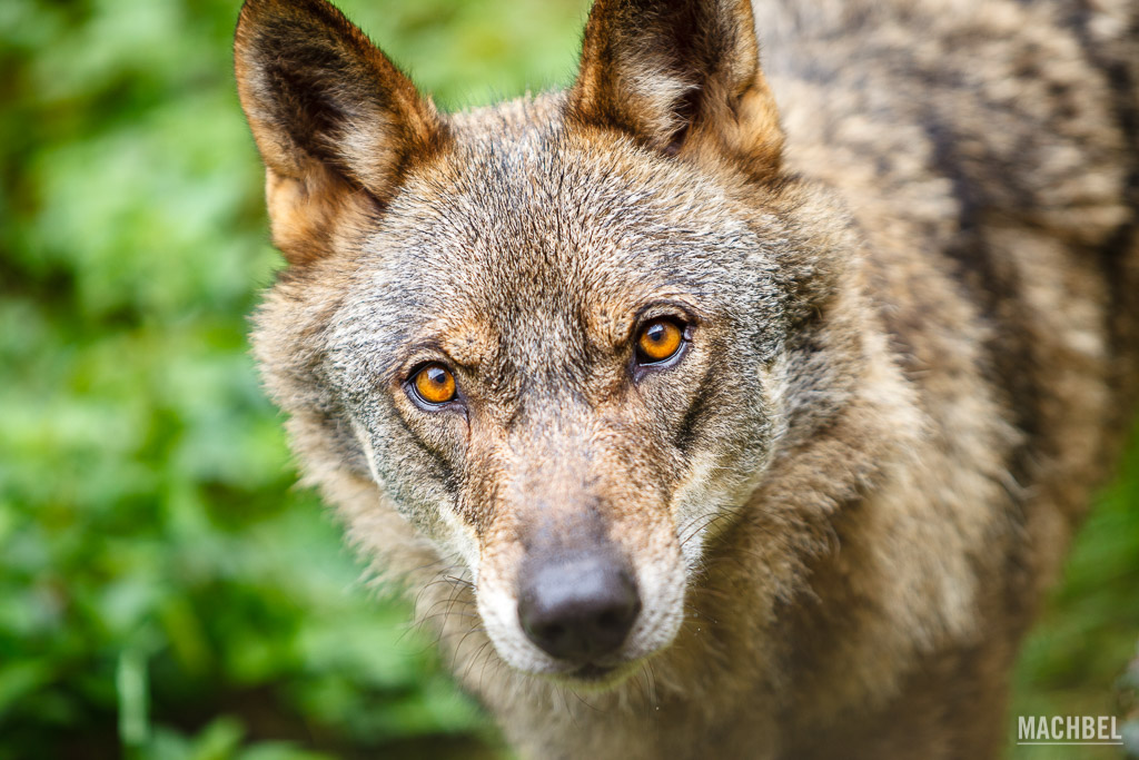 Ojos de Lobo Ibérico